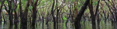 Mangrove 1240x300